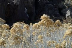 Sagebrush Flower