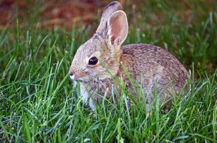 """A little bunny that I named """"Bluebell"""" eating our grass.  Isn't she adorable?"""