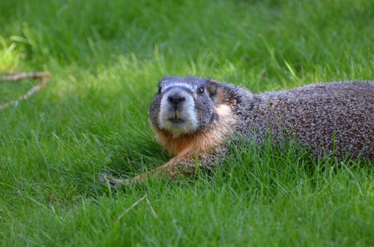 """This is what I call a """"rock chuck.""""  Although, most of the people I know call them """"marmots.""""  They make this high-pitched cheeping sound, and the little ones are adorable.  Unfortunately, they breed like crazy, eat like crazy, and poo like crazy.  They're just crazy, cute critters."""