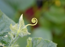 Curly Cue Cucumber