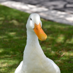 Beakford the Duck