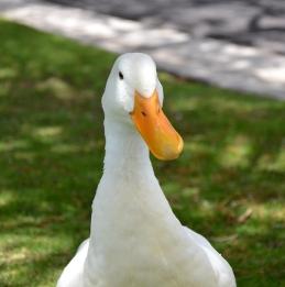 Beakford the Duck