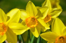 Daffodil2