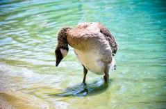 Goose that Makes No Sense (1 of 1)