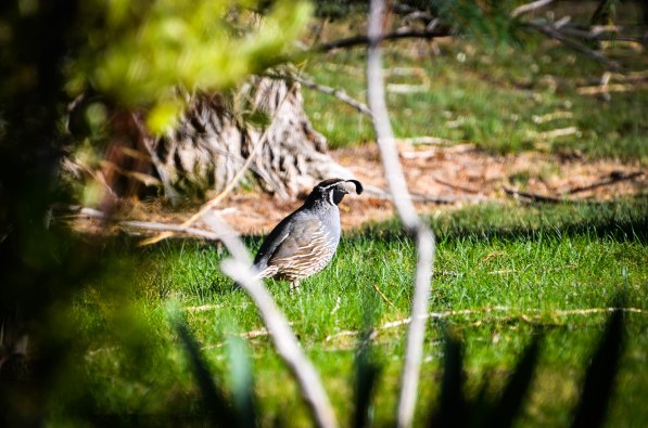 Usually, quail are in a perpetual state of panic. You would be too if everyone and everything wanted to eat you. Therefore, seeing a calm quail reminds me that there will be a chance to take a breath and relax.
