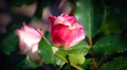 Fairy Tale Rose