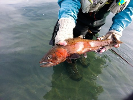 This Pyramid Lake cutthroat trout has his spawning colors on. Photo By: Elizabeth Preston