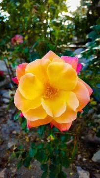 Sherbet Rose