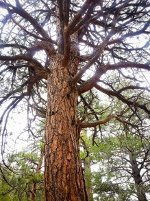 Spindly Tree