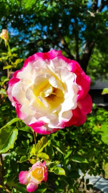 Two-Tone Rose