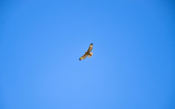 A hawk soaring in a gorgeous blue sky.  Run little animals, run! Does anyone know what kind of hawk this is? Photo By: Elizabeth Preston