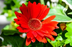 What a pretty gerbera daisy. Gerbera daisies are some of my favorite flowers. Photo By: Elizabeth Preston