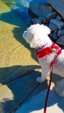 Bluish water, white dog, and red harness. Bam! Patriotic colors. Photo By: Elizabeth Preston
