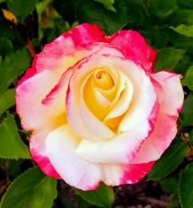 Lemonade Rose 2