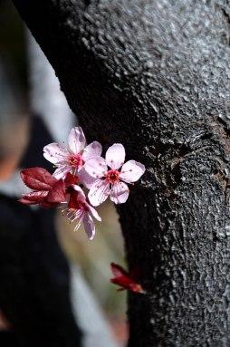 Cherry Blossom 1 -- 2019