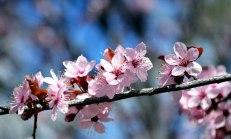 Cherry Blossom 2 -- 2019
