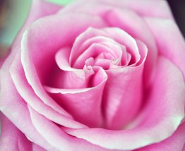 Romantic Rose