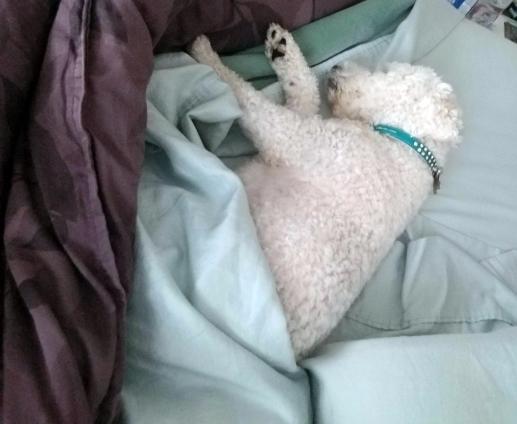 Snowie Sleeping