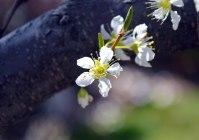 White Blossom 1 -- 2019