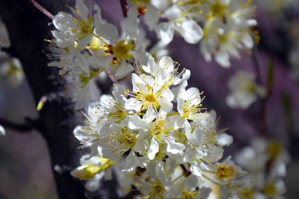 White Blossom 2 -- 2019