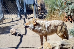 Coyote Looking Up