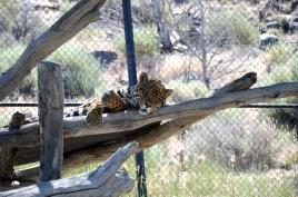 I'm Watching You -- Jaguar