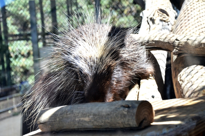 Porcupine -- Bad Hair Day