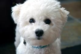 White Puppy, Blue Collar