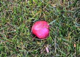 Fallen Apple