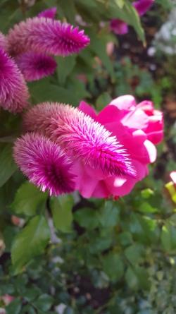 Purple Cone Flower