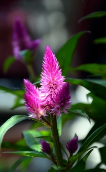 Purple Spikey Cone Flower
