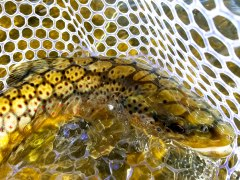 Fall Brown Trout