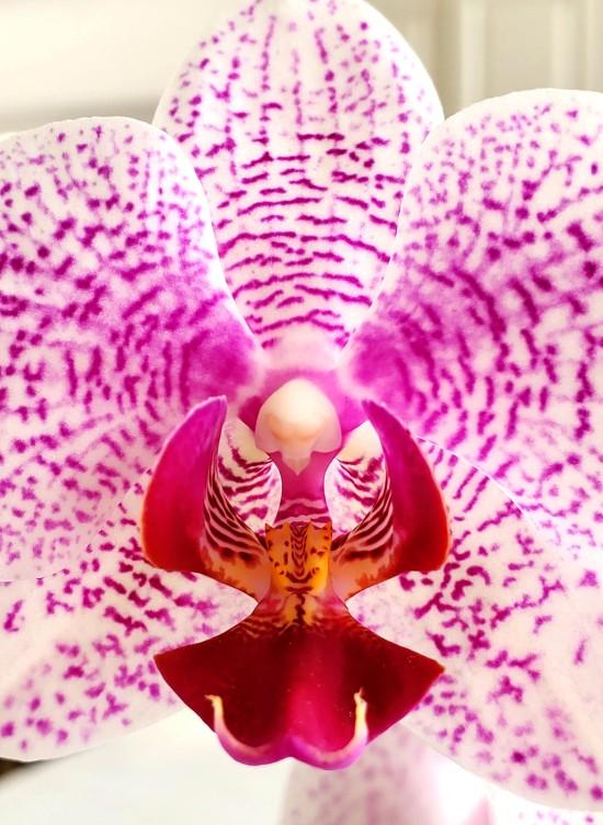Purple Orchid Blast